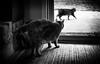Rivalry (Anne Worner) Tags: anneworner feline tomcat male tabby hackles defensive blackandwhite bw monochrome grain silverefex noire furry tail manx ragrug rug floor door glassdoor inside littledoglaughednoiret