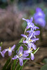 Glory-of-the-snow (Of Light & Lenses) Tags: gloryofthesnow asparagus bulbousplant blooming chionodoxa raindrops bokeh bokehlicious colorfulbokeh sonya7rii vintagelens vintageprime carlzeiss zeiss2860mmsplanarmacro schneeglanz garden plant beautyful flower manual lens macro