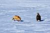 Uninvited guest I (kazs2307) Tags: bird redfox fox eagle whitetailedeagle snow 鳥 オジロワシ キタキツネ 雪