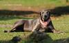 Sasha (jose@rbelaez) Tags: labrador labradora perro dog can chocolat chocolate josearbelaez mejoramigo posado casual modelo canino airelibre parque