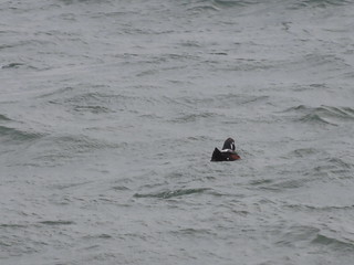 Harlequin Duck 1