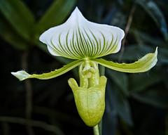 The Hairy One (MrBlueSky*) Tags: orchid flower petal garden horticulture nature outdoor colour plant kewgardens royalbotanicgardens london aficionados pentax pentaxart pentaxlife pentaxk1 pentaxawards pentaxflickraward
