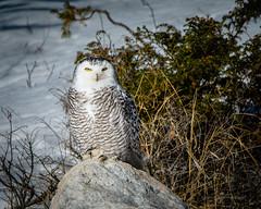 DSC_4229-2 (Pixelpics1) Tags: owl bird snowyowl