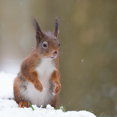Eekhoorn (Luciën Reyns) Tags: redsquirrel rodeeekhoorn clingsebos boshutclinge clinge gemeentehulst netherlands nederland zeeuwsvlaanderen wood snow sneeuw cold koud