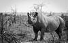 powerful (Cornelia Pithart) Tags: etosha namibia africa etoshanationalpark savannah squarelippedrhinoceros whiterhinoceros wildanimal wildlife