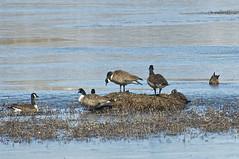 Canada Geese (pecooper98362) Tags: binghamton newyork broomecounty fallonroad wetlands bolandpond thomascreek marsh winter cold winterwetlands geese canadageese brantacandensis crategeese flock