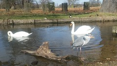 20180320_132532 (The Unofficial Photographer (CFB)) Tags: internationalhappinessday deardiarymar2018 swan swans featheredfriends