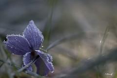 bleu glacé- (FLOCVROFF) Tags: bokehnature fleur violette blue friendlychallenges