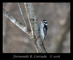 Downy Woodpecker (5340) (fbc57) Tags: nikond850 nikon300f4pfvrtc14x vermont birds woodsidenaturalarea essex downywoodpecker picoidespubescens woodpeckers