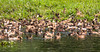 A lot of Ducks! Kerala Backwaters (amanda & allan) Tags: india alleppey kerala riceboat riceboats palmtrees palms backwaters veniceoftheeast ducks