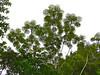Pumpwood Tree (Cecropia sciadophylla) (berniedup) Tags: belizon roura guyane pumpwoodtree cecropiasciadophylla tree taxonomy:binomial=cecropiasciadophylla urticaceae