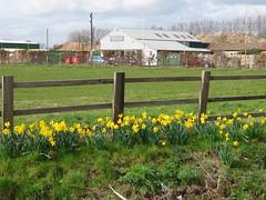 Poyle Road Poyle (portemolitor) Tags: slough poyle poyleroad daffodils