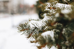 Close up of a pine tree covered with snow. Blurry background. (wuestenigel) Tags: natural winter nature frost beauty background holiday snow trees seasonal up decoration design park white photo landscape closeup outdoor needle cold branch covered snowy ice evergreen tree snowfall forest pine fir close green frozen branches spruce detail