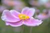 Japanese anemone flower (glendamaree) Tags: cosmos pink garden nature japenese anemone