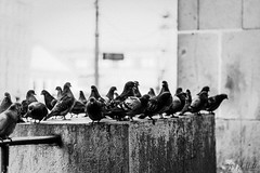Pigeons (D. R. Hill Photography) Tags: pigeon bird animal city urban blackandwhite mono monochrome nikon nikond7100 d7100 nikon50mmf14g 50mm primelens fixedfocallength dxo dxofilmpack5 bokeh