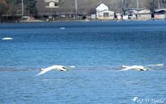 Allez j'y suis presque :-) (jean-daniel david) Tags: cygne lac lacdeneuchâtel réservenaturelle eau bleu blanc oiseau oiseaudeau yverdonlesbains hiver