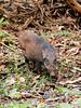 Eurasian Wild Pig (chaz jackson) Tags: susscrofa eurasianwildpig vittatus boar pig wild mmammal suidae vietnam