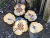 Art 1 (krasteva_tatyana) Tags: stump quince tree nature art
