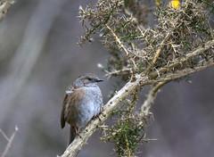 Accenteur mouchet - Dunnock (Prunella modularis) (Ziza !) Tags: oiseau bird accenteurmouchet dunnock prunellamodularis nikond500 tamron sp 150600 tamronsp150600mmf563divcusdg2