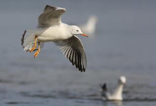 Dunbekmeeuw - Chroicocephalus genei - Slender-billed Gull
