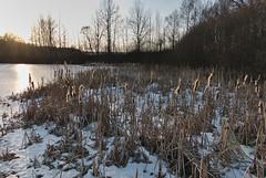 """Reeds in the frozen """"Island pond"""" (Karel Suchánek) Tags: winter pond frozen frost ice sunshine afternoon reeds velkáhleďsebe lumix lx100 ostrovnírybník ostrovák"""