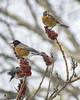 Hungry Robins (Artrocity) Tags: artrocity outdoors robin sumac winter bird vivitar