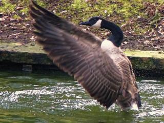 Surprise  ! Arrivée de migration de 10 grands oiseaux - Surprise - Arrival of  the migration of 10 great birds