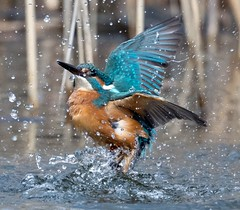 Kingfisher / Eisvogel (@Thomas Neuber) Tags: diving kingfisher alcedoatthis eisvogel actionshot lasauge switzerland nikond850 nikon600mmf4gvr vogel bird colorful