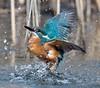 Kingfisher / Eisvogel (@Thomas Neuber) Tags: diving kingfisher alcedoatthis eisvogel actionshot lasauge switzerland nikond850 nikon600mmf4gvr vogel bird colorful