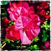 And pink. #Usbg #botanicgarden #goodgarden #dcgarden #nationalgarden #washingtondc #dc #dclife #downtown #iphone #iphone365 #iphone7plus #iPhonemacro #macro  #flower #flowersofinstagram #downtown #dclife  #nationalmall #nationalparks (Kindle Girl) Tags: iphone7plus nationalparks usbg botanicgarden goodgarden dcgarden nationalgarden washingtondc dc dclife downtown iphone iphone365 iphonemacro macro flower flowersofinstagram nationalmall