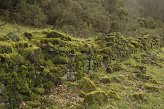 MossyWall (Tony Tooth) Tags: nikon d7100 nikkor 35mm f18g wall moss mossy countryside staffordshiremoorlands staffs staffordshire england danebridge neglected
