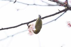 _3188209.jpg (plasticskin2001) Tags: mejiro sakura bird flower