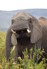 Abgehangen... (Zoom58.9) Tags: elefant gesicht rüssel stoszahn wildtiere wildnis natur safari steppe afrika südafrika gondwana pflanzen face trunk tusks wildlife wilderness africa southafrica plants elephant canon eos 50d tier animal