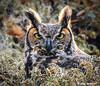 Great Horned Owl, Circle B Bar Reserve (alan jackman) Tags: jackmanjackman jazz bird birding nikon d7000 wetlands alanjackman tamron 150600mm circlebbarreserve circlebbar florida telephoto lakeland great horned owl