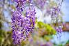 紫藤Wisteria (游萬國) Tags: wisteria purple flower 紫藤 花 紫 陽明山