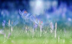 Spring in the garden. (augustynbatko) Tags: spring flowers nature snowdrop macro blur bokeh garden