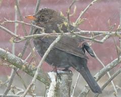 Snowy Blackbird! ('cosmicgirl1960' NEW CANON CAMERA) Tags: birds feathers garden uk feeder snow winter nature devon dartmoor yabbadabbadoo