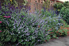 Salvia 'Phyllis Fancy' - Kew Gardens (Ruud de Block) Tags: kewgardens ruuddeblock royalbotanicgardens lamiaceae salviaphyllisfancy salvia phyllis fancy