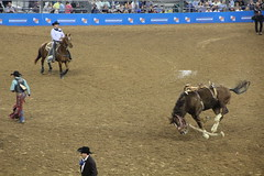 IMG_2406 (melodavis@sbcglobal.net) Tags: rodeohouston 2018 rodeo livestock heifer farmlife steer saddlebronc bronc bull bullriding calfscramble alpaca