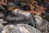 Peruvian Pelican (Pelecanus thagus) (Arturo Nahum) Tags: mantagua valparaísoregion chile aves animal arturonahum ave airelibre birdwatcher bird birds wildflife wild nature naturaleza naturephotography pajaro pajaros