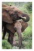 2018 02 01_Elephants-2 (Jonnersace) Tags: africa elephant loxodontaafricana olifant wildwingssafaris krugernationalpark mammal animal pachyderm trunks trunk ears juvenile tusks drinking southafrica canon7dii canon100400ii water grass vegetation herbivore