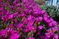 IMG_7629 (mudsharkalex) Tags: california pacificgrove pacificgroveca flower flowers