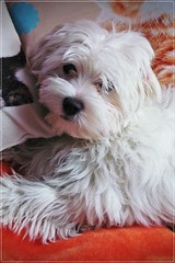 my home beast (but she's also a beauty, isn't it?) ;) (green_lover) Tags: dog dogs puppy pets fela maltese smileonsaturday beautyofthebeast portrait animals white frame 7dwf