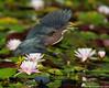 Take off (v4vodka) Tags: bird birding birdwatching animal nature wildlife heron egret greenheron greenbackedheron czapl czaplazielona butoridesvirescens czapla grunreiher reiher longisland newyork