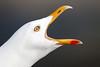 Herring Gull. (Chris Kilpatrick) Tags: herringgull gull seabird peel isleofman bird animal nature wildlife outdoor canon canon7dmk2 sigma150mm600mm springwatch march