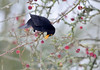 Blackbird (Kevin Keatley1) Tags: fieldfareoncrabapples fieldfare crabapples gardenbirds birds kevinkeatley westcountrybirds winterbirds blackbird