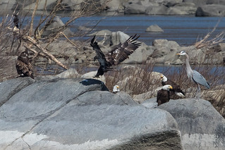 Bald Eagle at Conowingo Dam-8
