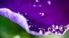 rain drops on blue petal (Danyel B. Photography) Tags: dew drops petal flower nature natur blume tropfen tau rain regen macro makro close bokeh details