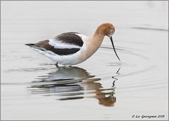 Looking Beneath The Surface (pandatub) Tags: bird birds avocet americanavocet baylands paloalto reflection
