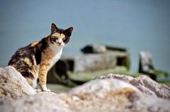 cat look (iNezar) Tags: ifttt 500px cat sea blue color caty animal tiger beach rock sky boat look cute black